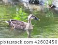 swim, duck, shorebird 42602450