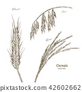 Cereals set. Hand drawn illustration wheat, oats,  42602662