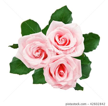 Beautiful white roses 42602842