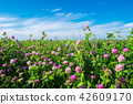 Pink clover meadow and blue sky. 42609170