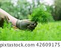 Gardener  cutting dill sprigs with garden scissors 42609175