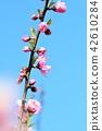 복숭아 꽃 42610284