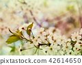 cherry tree branch with flowers 42614650