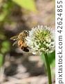 蜜蜂 三叶草 花朵 42624855