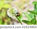 蜜蜂 三叶草 花朵 42624864