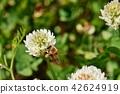 蜜蜂 三叶草 花朵 42624919