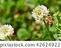 蜜蜂 三叶草 花朵 42624922