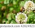蜜蜂 三叶草 花朵 42624923
