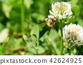 蜜蜂 三叶草 花朵 42624925