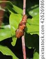 김 삐카밧지을 붙인 암끝 검은 표범 나비의 번데기 42626986