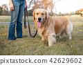 Golden Retriever walk on long lead at the park 42629602