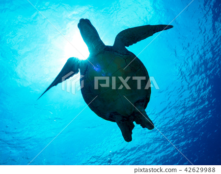海龜 42629988