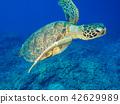 海龟 海底的 海里 42629989