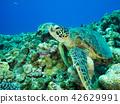 海龜 海底的 海裡 42629991
