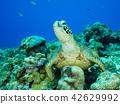 海龜 海底的 海裡 42629992