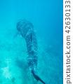 고래상어, 상어, 진베 42630133