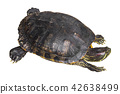 Red eared slider turtle .Trachemys scripta elegans 42638499