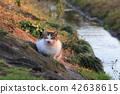 고양이, 삼색털 고양이, 삼색 얼룩고양이 42638615