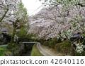 ฤดูใบไม้ผลิ,ดอกไม้,ดอกซากุระบาน 42640116