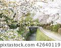 ฤดูใบไม้ผลิ,ดอกไม้,ดอกซากุระบาน 42640119