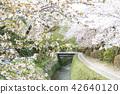 ฤดูใบไม้ผลิ,ดอกไม้,ดอกซากุระบาน 42640120