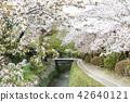 ฤดูใบไม้ผลิ,ดอกไม้,ดอกซากุระบาน 42640121