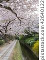 ฤดูใบไม้ผลิ,ดอกไม้,ดอกซากุระบาน 42640122