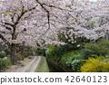 ฤดูใบไม้ผลิ,ดอกไม้,ดอกซากุระบาน 42640123