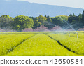 tea plantations, tea plantation, tea field 42650584