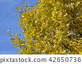 황금빛 은행 나무의 단풍 42650736