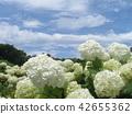 安娜贝尔 绣球花 花朵 42655362