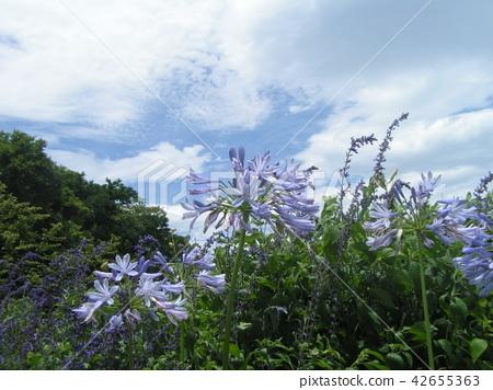 蓝天和白色云彩和爱情花蓝色花 42655363
