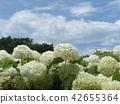 安娜贝尔 绣球花 花朵 42655364