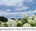 ไฮแดรนเยีย,ดอกไม้,ฤดูร้อน 42655365