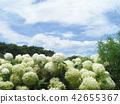 安娜贝尔 绣球花 花朵 42655367