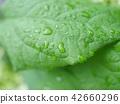 foliage, leaf, leafs 42660296