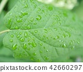 ผักใบ,พืชสีเขียว,ไม้ 42660297