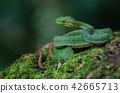 Pope's Green Pitviper snake 42665713