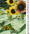 해바라기, 꽃, 플라워 42666242