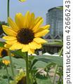 向日葵 花朵 花卉 42666243