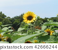 向日葵 花朵 花卉 42666244