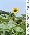 해바라기, 꽃, 플라워 42666245