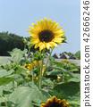 해바라기, 꽃, 플라워 42666246