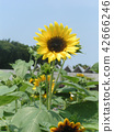 向日葵 花朵 花卉 42666246