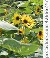 해바라기, 꽃, 플라워 42666247