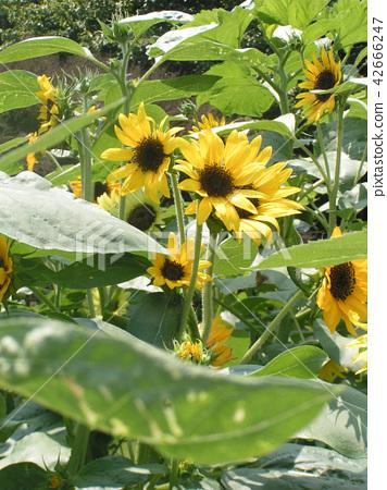 ดอกไม้,แปลงดอกไม้,ฤดูร้อน 42666247