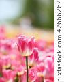 郁金香 花朵 花卉 42666262