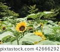 해바라기, 꽃, 플라워 42666292