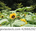向日葵 花朵 花卉 42666292