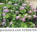 산수국, 수국, 꽃 42668709